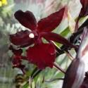 Orhidee Colmanara Masai Red