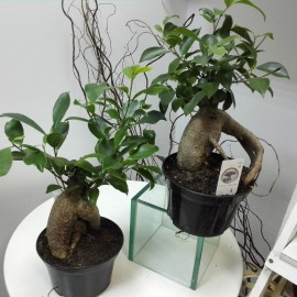 Bonsai Ficus Ginseng p15