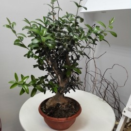 Bonsai Maslin Xl