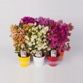 Floarea de Hartie - Bougainvillea mix