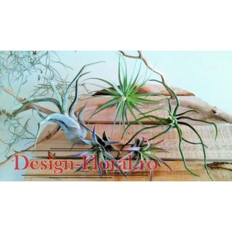 Tillandsia air plant- Plante aeriene