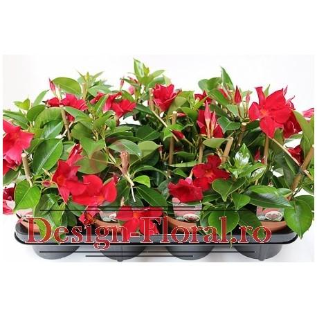 Diladenia rosie - Mandevilla