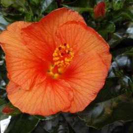 Hibiscus Bari portocaliu