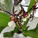 Orhidee Brassidium Kenneth Bivin 'Santa Barbara'