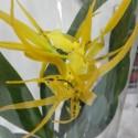 Orhidee Brassada Mivada