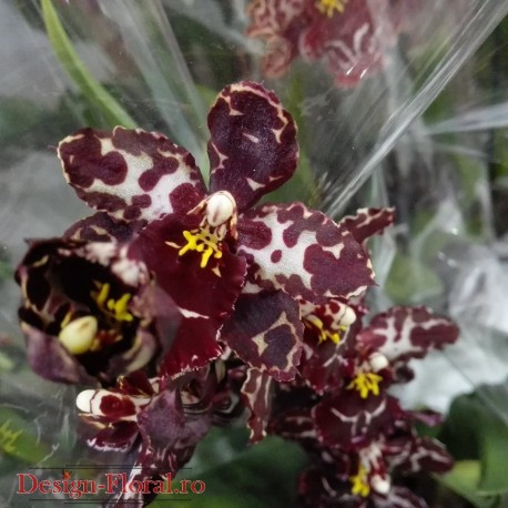 Orhidee Odontioda Margarete Holm 'Black Beauty'
