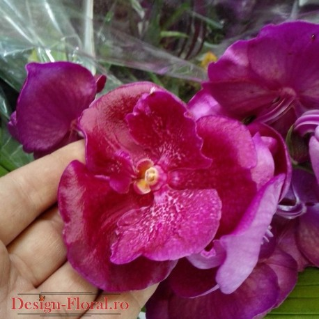 Orhidee Vanda xxl