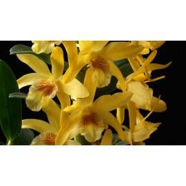 Orhidee Dendrobium Stardust