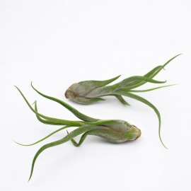 "Planta aeriana Tillandsia caput-medusae ""Medusa"""