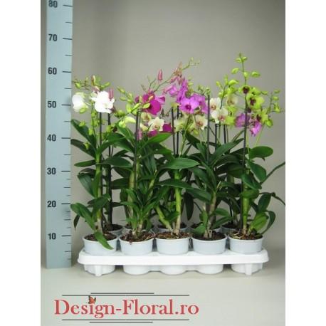 Orhidee Dendrobium Phalaenopsis