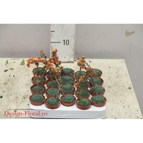Echeveria cu floare - Planta suculenta