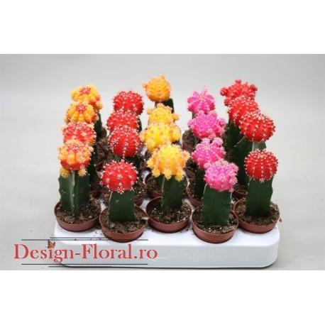 Cactus altoit Gymnocalycium