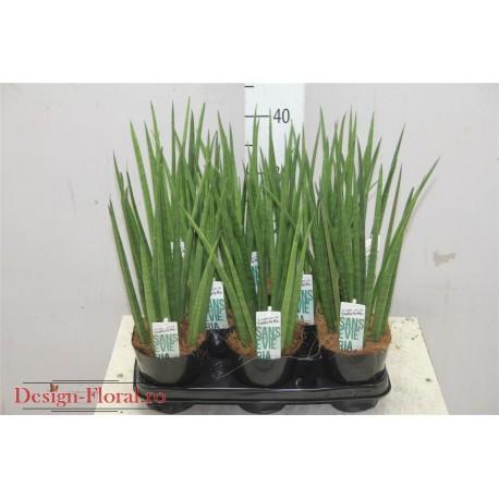 Sansevieria Cylindrica- Planta suculenta
