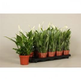 Spathiphyllum 'Korto' - Crinul Pacii