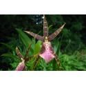 Orhidee Bratonia Shelob 'Tolkien' fara floare