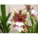 Orhidee Beallara Eurostar fara flori