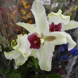 Orhidee Beallara Tahoma Glacier fara flori