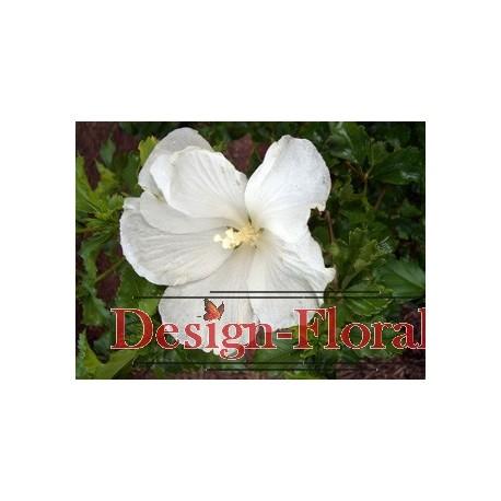 Hibiscus alb