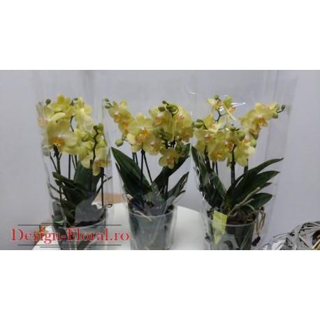 """Phalaenopsis """" Little Kolibri Mali """""""