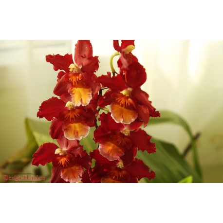 Orhidee Wilsonara Dianne Feinstein Red Ruby