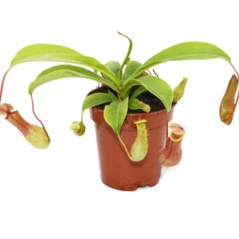 Nepenthes Alata - planta carnivora