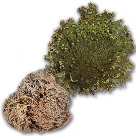 Rose of Jericho - Planta dinozaur