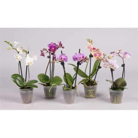 Orhidee Phalaenopsis Midi