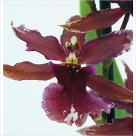 Orhidee Burrageara Lazio