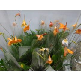 Orhidee Masdevallia mix