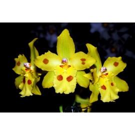 Orhidee Odontonia Yellow Parade