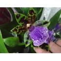Orhidee Zygopetalum