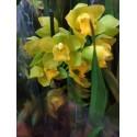 Orhidee Cymbidium galbena