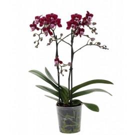 Orhidee Phalaenopsis Cranberry Cha Cha