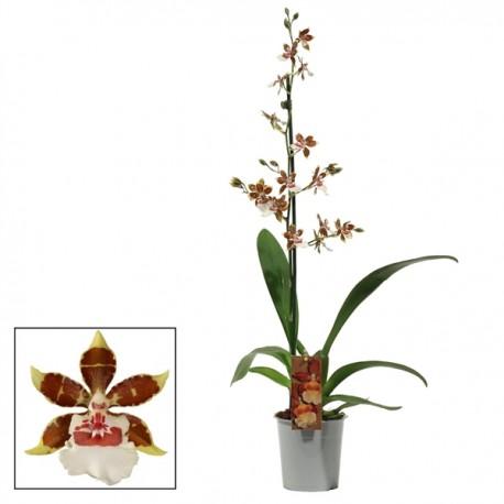 Orhidee Colmanara Jungle Monarch
