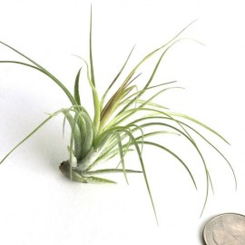 Planta aerofita Tillandsia 'Aeranthos Stricta'