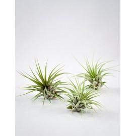 Planta aeriana Tillandsia 'Ionantha Guatemala'