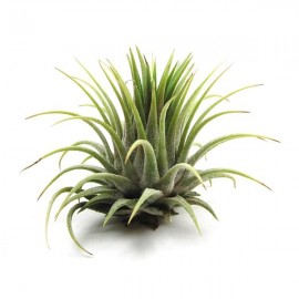 Planta aeriana Tillandsia 'Ionantha Rubra'