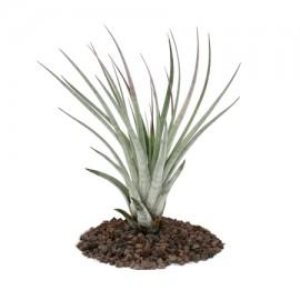 Planta aerofita Tillandsia 'Fasciculata'