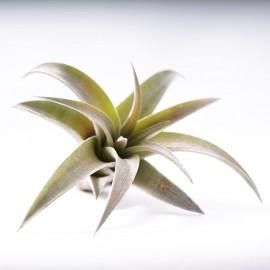 Planta aeriana Tillandsia 'Capitata Peach'