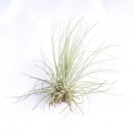 Planta aeriana Tillandsia 'Argentea Thin Leaf'