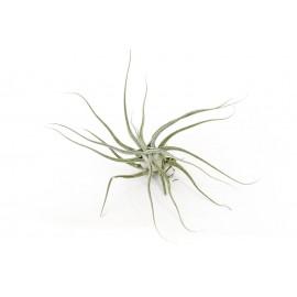 Planta aeriana Tillandsia 'Ehlersiana'