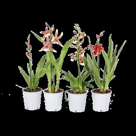 Orhidee Cambria mix fara flori