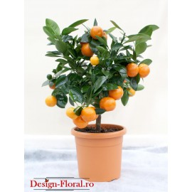 Calamondin- Mandarin decorativ
