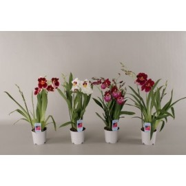 Orhidee Miltonia fara flori