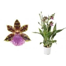 Orhidee Zygopetalum Fara flori