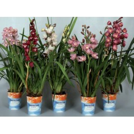 Orhidee Cymbidium 3-4 tije florale
