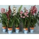 Orhidee Cymbidium 2 tije florale