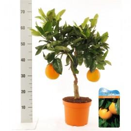 Citrus Arancia Sinensis