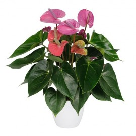 Anthurium Cavalli mov