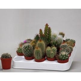 Cactusi P5